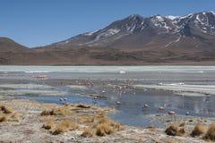 桃红色火鸟在拉古纳Chiarkota -椅子KKota 4700 mt是玻利维亚的altiplano的西南的一个浅盐湖 免版税库存照片