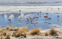 桃红色火鸟在拉古纳Chiarkota -椅子KKota 4700 mt是玻利维亚的altiplano的西南的一个浅盐湖 库存图片