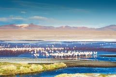 桃红色火鸟在拉古纳Colorada, Altiplano,玻利维亚 免版税库存照片