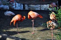 桃红色火鸟在水附近站立在一个热的夏日 免版税图库摄影