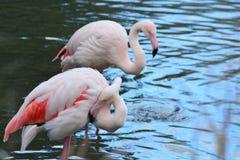 桃红色火鸟在湖 免版税图库摄影