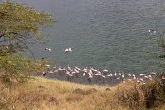 桃红色火鸟在湖 免版税库存图片
