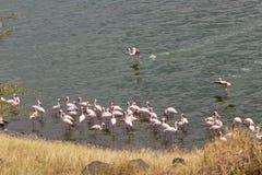 桃红色火鸟在湖 图库摄影
