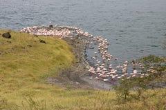 桃红色火鸟在湖 免版税库存照片
