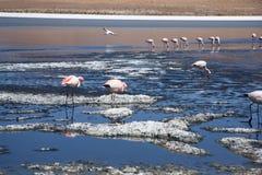 桃红色火鸟在盐水湖 免版税库存照片