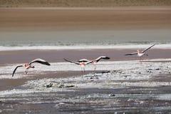 桃红色火鸟在盐水湖Colorada, Altiplano,玻利维亚 库存照片