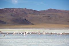 桃红色火鸟在盐水湖Colorada, Altiplano,玻利维亚 免版税库存图片