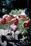桃红色火鸟在阳光下 免版税图库摄影