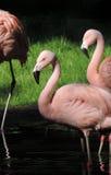 桃红色火鸟在阳光下 库存图片