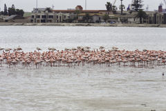 桃红色火鸟在鲸湾港,纳米比亚 库存图片