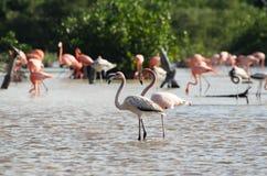 桃红色火鸟在他们的自然生态环境 库存图片