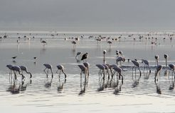 桃红色火鸟查寻殖民地软体动物和鱼在湖的水域中 湖Nakuru,肯尼亚 日出 免版税库存图片