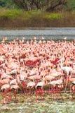 桃红色火鸟群在巴林戈湖的 肯尼亚,非洲 库存图片