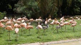 桃红色火鸟群在狂放的 免版税库存图片