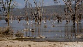 桃红色火鸟群在非洲温文地走在湖水的长的腿  股票视频