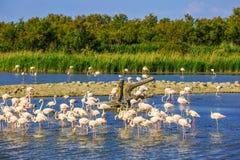 桃红色火鸟群在Camargue国家公园 免版税库存照片
