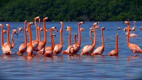桃红色火鸟群在Celestun,墨西哥 股票视频