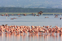 桃红色火鸟群在Nakuru湖 肯尼亚 免版税图库摄影
