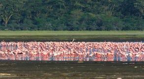 桃红色火鸟群在Nakuru湖 肯尼亚 库存图片