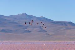 桃红色火鸟飞行在盐湖,玻利维亚人安地斯的小组 库存图片