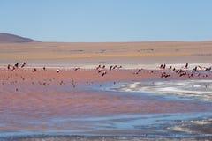 桃红色火鸟飞行在盐湖,玻利维亚人安地斯的小组 图库摄影
