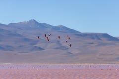 桃红色火鸟飞行在盐湖,玻利维亚人安地斯的小组 免版税库存照片