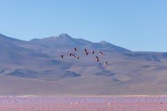 桃红色火鸟飞行在盐湖,玻利维亚人安地斯的小组 库存照片