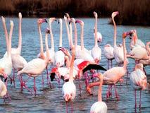 桃红色火鸟Camargue国家公园,法国 库存照片