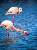 桃红色火鸟Camargue国家公园,法国 库存图片