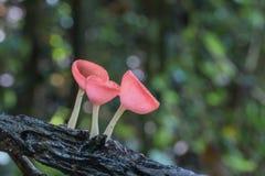 桃红色烧伤杯,真菌在森林里杯蘑菇 图库摄影