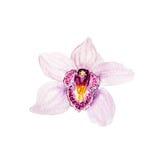 桃红色热带兰花花植物的水彩例证剪影在白色背景的 皇族释放例证