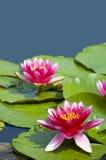 桃红色热带waterlily 库存照片