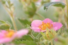 桃红色熊猫草莓 图库摄影
