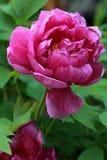 桃红色牡丹、欧洲牡丹或者共同的牡丹芍药属officinalis 库存图片