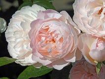 桃红色牡丹上升了 库存照片