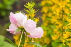 桃红色牡丹在春天庭院里 库存图片