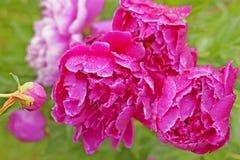 桃红色牡丹在雨以后的庭院里 免版税库存图片