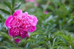 桃红色牡丹开花在一个雨天 免版税图库摄影