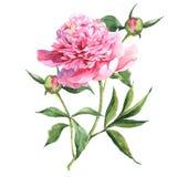 桃红色牡丹植物的水彩例证 库存照片