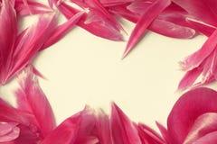 桃红色牡丹瓣卡片 免版税库存照片
