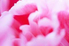 桃红色牡丹精美瓣花卉背景  免版税库存图片