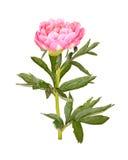 桃红色牡丹花、词根和叶子在白色 库存照片