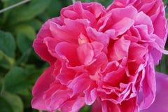 桃红色牡丹花在一个植物园里 库存照片