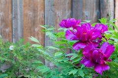 桃红色牡丹花在庭院里 免版税库存图片