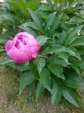 桃红色牡丹花特写镜头 库存图片