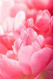 桃红色牡丹花瓣宏指令背景 库存图片