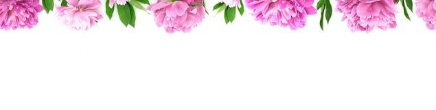 从桃红色牡丹花的框架在与拷贝空间的白色背景 免版税库存图片