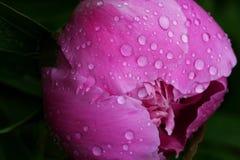 桃红色牡丹花蕾特写镜头有露水下落的在加尔德角 库存图片
