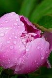 桃红色牡丹花蕾特写镜头有露水下落的在加尔德角 免版税库存照片