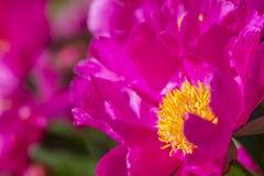 桃红色牡丹花,关闭 库存图片
